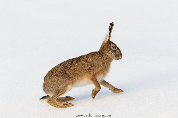 Lièvres - Lepus europaeus - Brown Hare (26)