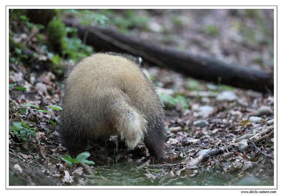 Photo_Blaireau_43 (Blaireaux - Meles meles - Eurasian Badger)