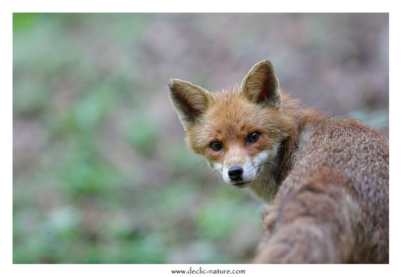 Photo Renard_169 (Renard roux -Vulpes vulpes - Red Fox)