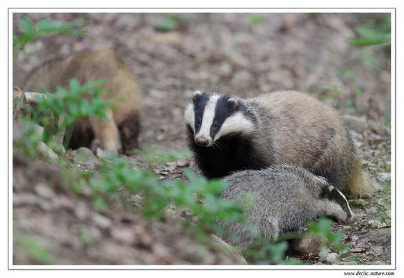 Photo_Blaireau_20 (Blaireaux - Meles meles - Eurasian Badger)