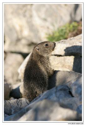 Photo Marmotte_M21