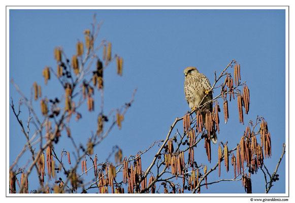 Photo 4 (Faucon crécerelle - Falco tinnunculus - Common Kestrel)