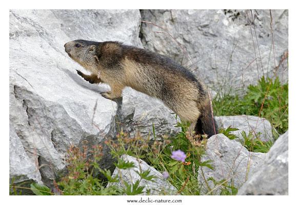 Photo Marmotte_68