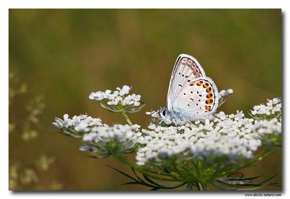 Azuré espèce - Plebejus sp. (3)