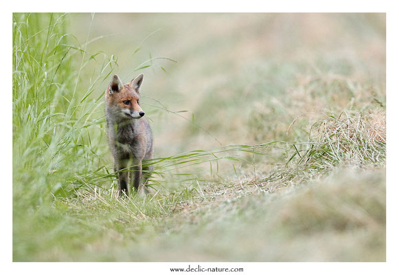 Photo Renard_198 (Renard roux -Vulpes vulpes - Red Fox)