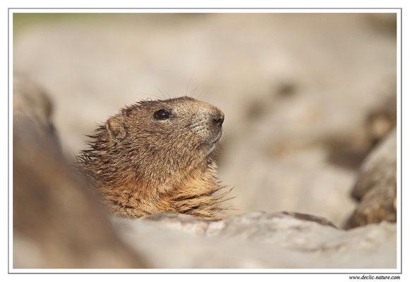 Photo Marmotte_33