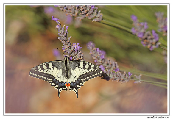 Machaon - Papilio machaon dans la Drome (19)