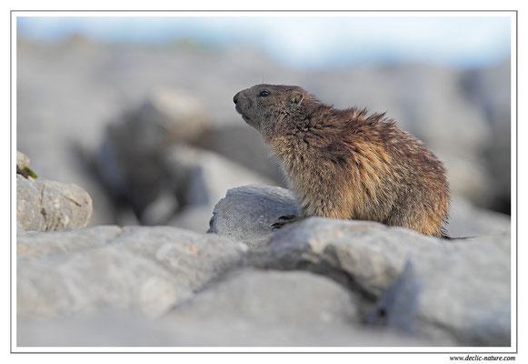 Photo Marmotte_25