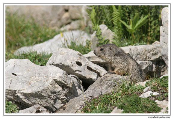 Photo Marmotte_M4