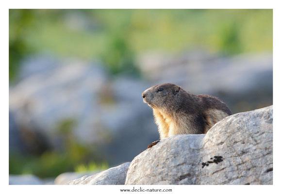 Photo Marmotte_55