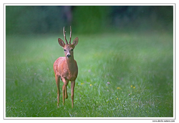 Photo Chevreuil_93 (Chevreuil - Capreolus capreolus - Roe Deer)