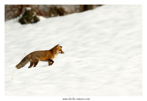 Photo Renard_168 (Renard roux -Vulpes vulpes - Red Fox)