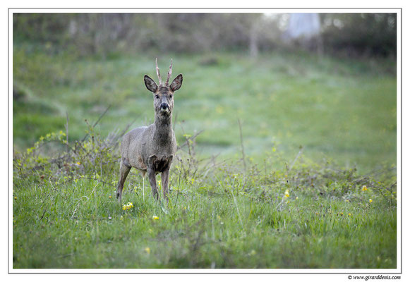 Photo Chevreuil_51 (Chevreuil - Capreolus capreolus - Roe Deer)