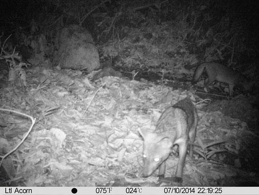 Fox - Reserva Biologica Caoba