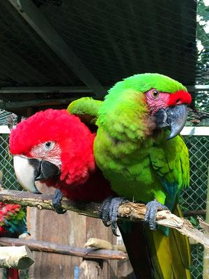 macaws - Reserva Biologica Caoba