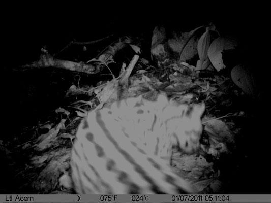 Tigrillo - Reserva Biologica Caoba