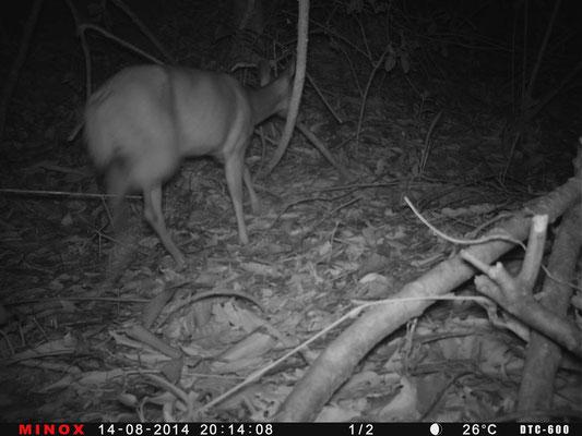 Deer - Reserva Biologica Caoba