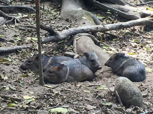 Peccaries - Reserva Biologica Caoba