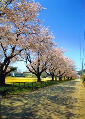 桜日和(さくらびより)