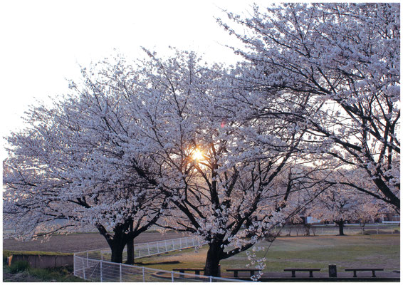 夕日に染まる満開の桜