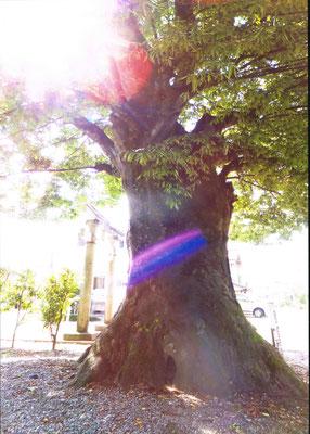 虹で着飾る大欅