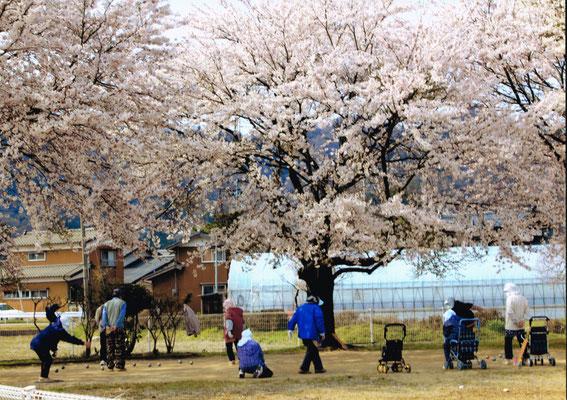 満開の桜の下でペタンクの練習