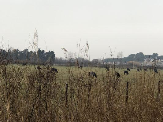 Kleine, schwarze Stiere, gut das sie eingezäunt sind.