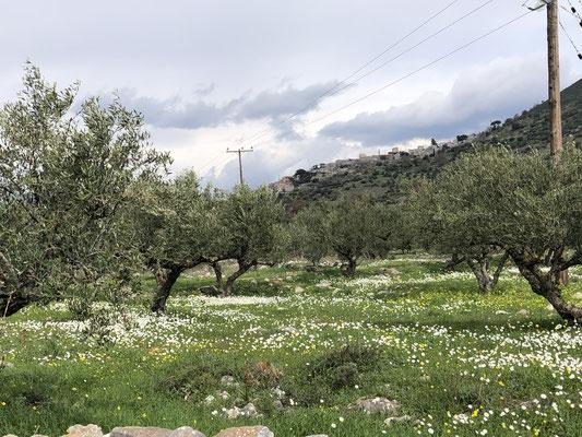 Der Frühling ist da .... Margeriten im Olivenhain...