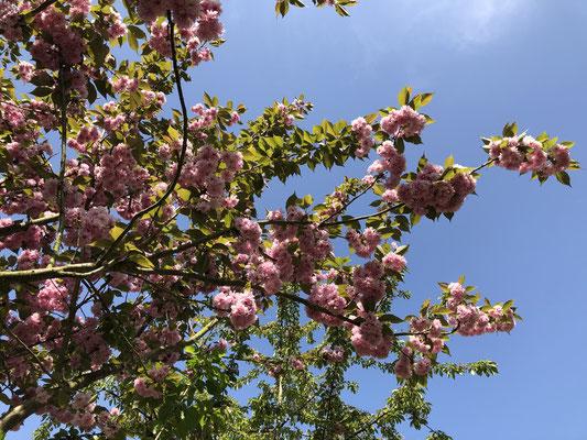 Kirschblütenfest vor der Haustüre.