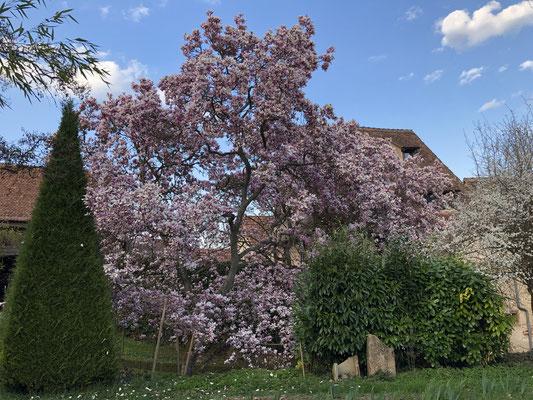 Im philosophischen Garten in Boersch blüht diese prachtvolle Mangnolie.