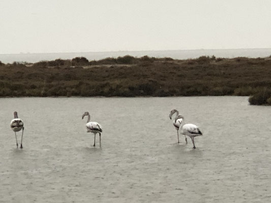 Ich wußte nicht, dass es Flamingos auch in Schwarz-Weiß gibt.