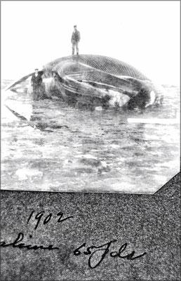 Baleine échouée en 1902 d'une longueur de 65 pieds