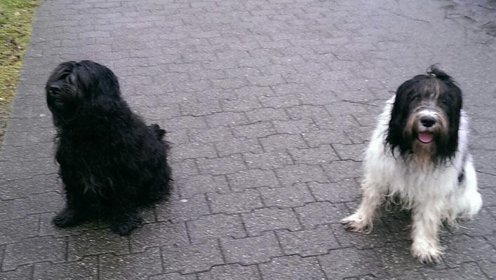 Yasco (rechts) hat einen Schapendoes in Zürich getroffen