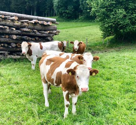 neugierige Kühe am Fuße der Ammergauer Alpen