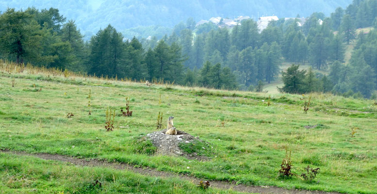 Murmeltiere nahe Colle Sampeyre