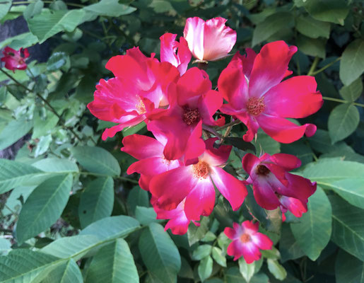 Oleanderblüten im Apennin