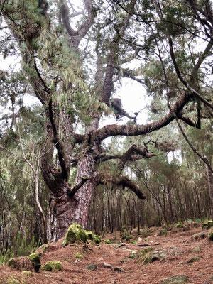 2. Teil des PR-TF 35: über Mamio und Aguamansa zurück nach La Caldera