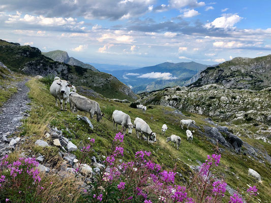 Kühe auf dem Saumpfad hinauf zum Colla Piana
