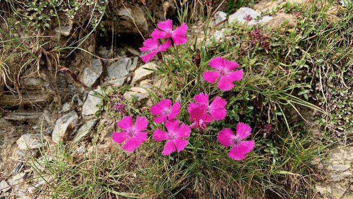 Leuchtende Bergblumen