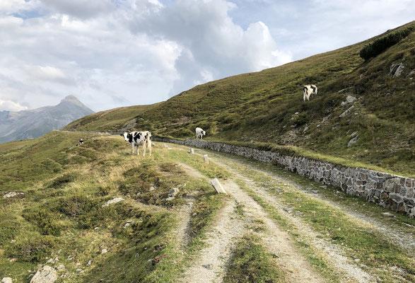 Kühe auf der Brenner Grenzkammstraße