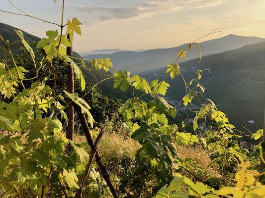 Berghuhn, Italien, Ligurien, Radreise, Radtour, Apennin, Abendsonne, Weinberg