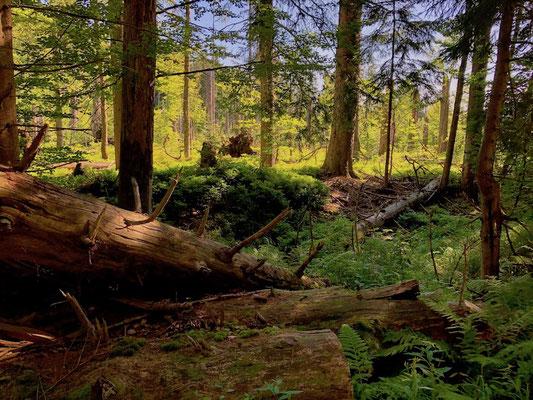Urwald im Gebiet des Lusen, Nationalpark Bayerischer Wald