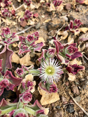 Blumen in der Lavalandschaft