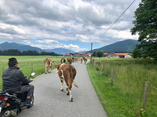 tierischer Verkehr auf dem Ammer-Amper Radweg
