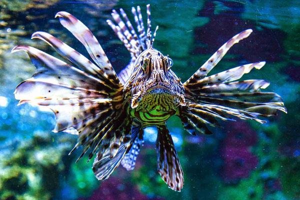 Feuerfisch Bild 1