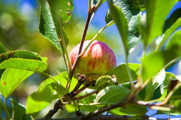 Bild 2 Apfel