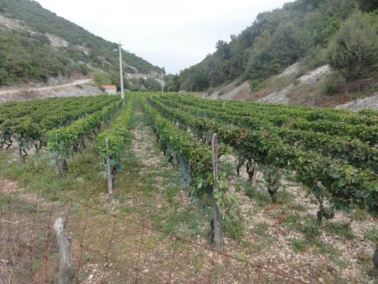 Weinbau auf Brač