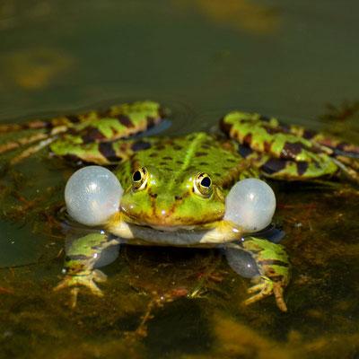 Im Frühsommer machen sich Grünfrösche, zu welchen Teichfrosch und Kleiner Wasserfrosch gehören, mit lautstarken Quak-Konzerten bemerkbar.