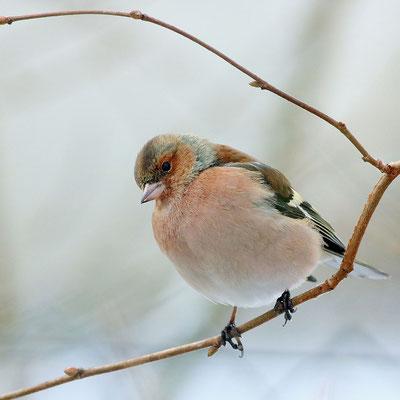 Der Buchfink - hier ein Männchen - ist unser häufigster Brutvogel. (© Barbara Ehrensperger)