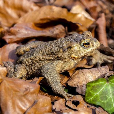 Schon im zeitigen Frühjahr stellen sich erste Erdkröten  zu Paarung und Laichablage  am Weiher ein.
